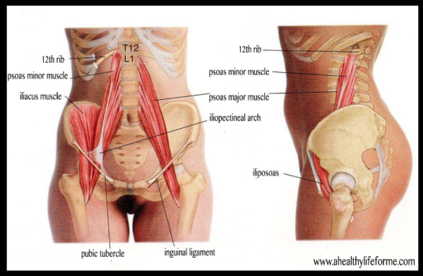 meet your psoas, the muscle at the center of it all - skyd magazine, Human Body